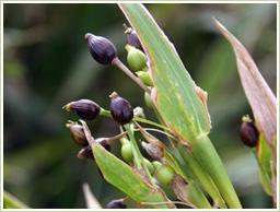 高品質の国産・発芽ハトムギを使用